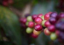 Ciérrese encima del café crudo fresco en árbol Fotografía de archivo libre de regalías