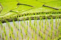 Ciérrese encima del campo verde Chiang Mai, Tailandia del arroz de arroz Punto del foco selectivo Foto de archivo libre de regalías