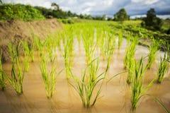 Ciérrese encima del campo verde Chiang Mai, Tailandia del arroz de arroz Punto del foco selectivo Imágenes de archivo libres de regalías