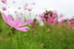 Ciérrese encima del color rosado grande hermoso de las flores del cosmos en jardín Imagen de archivo libre de regalías