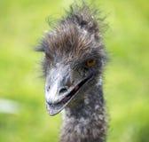 Ciérrese encima del detalle de la cabeza del emú/de la avestruz foto de archivo libre de regalías