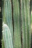 Ciérrese encima del detalle de un cactus suculento vertical grande hermoso e impresionante, Foto de archivo libre de regalías