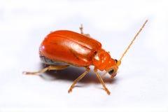 Ciérrese encima del escarabajo de hoja de la cucúrbita, Aulacophora indica en un fondo blanco Fotografía de archivo libre de regalías