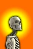 Ciérrese encima del esqueleto Fotografía de archivo