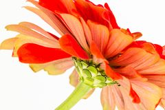 Ciérrese encima del extracto de la flor del Zinnia foto de archivo