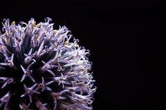 Ciérrese encima del flor del ajo en un fondo negro Imagen de archivo libre de regalías