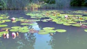 Ciérrese encima del flor del loto del resh o de la flor del lirio de agua que florece en el fondo de la charca, Nymphaeaceae almacen de video