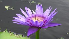 Ciérrese encima del flor fresco del loto del color violeta almacen de video