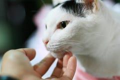 Ciérrese encima del gato blanco Imagen de archivo libre de regalías