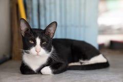 Ciérrese encima del gato negro hermoso, marcas blancas con el lyin soñoliento de la cara imagen de archivo libre de regalías