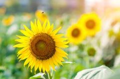 Ciérrese encima del girasol con el vuelo de la abeja Imágenes de archivo libres de regalías