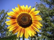 Ciérrese encima del girasol con la abeja Foto de archivo libre de regalías
