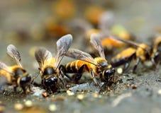 Ciérrese encima del grupo de abejas Foto de archivo