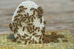 Ciérrese encima del grupo de abejas jovenes con el pequeño panal blanco en fondo de madera fotografía de archivo