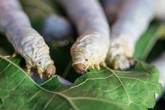 Ciérrese encima del gusano de seda que come la hoja verde de la mora foto de archivo