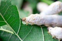 Ciérrese encima del gusano de seda que come la mora imágenes de archivo libres de regalías