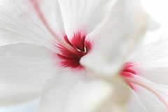 Ciérrese encima del hibisco color de rosa rosa-sinensi del hibisco blanco Imagenes de archivo