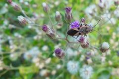Ciérrese encima del insecto marrón anaranjado hermoso de la imagen macra que se sienta en las flores púrpuras blancas Imagenes de archivo