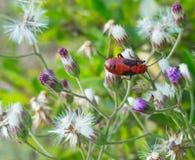 Ciérrese encima del insecto rojo vivo hermoso de la imagen macra que se sienta en las flores púrpuras blancas Imagen de archivo