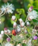 Ciérrese encima del insecto rojo vivo hermoso de la imagen macra que se sienta en las flores púrpuras blancas Fotos de archivo libres de regalías