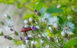 Ciérrese encima del insecto rojo vivo hermoso de la imagen macra que se sienta en las flores púrpuras blancas Foto de archivo libre de regalías