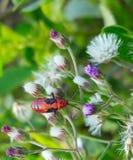Ciérrese encima del insecto rojo vivo hermoso de la imagen macra que se sienta en las flores púrpuras blancas Imagen de archivo libre de regalías