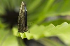 Ciérrese encima del lanzamiento de la mariposa con el fondo verde suave Imágenes de archivo libres de regalías