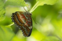Ciérrese encima del lanzamiento de la mariposa con el fondo verde suave Foto de archivo libre de regalías