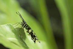 Ciérrese encima del lanzamiento de la mariposa con el fondo verde suave Foto de archivo