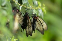 Ciérrese encima del lanzamiento de la mariposa con el fondo verde suave Imagen de archivo