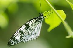 Ciérrese encima del lanzamiento de la mariposa con el fondo verde suave Imagenes de archivo