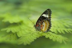 Ciérrese encima del lanzamiento de la mariposa con el fondo verde suave Fotos de archivo libres de regalías