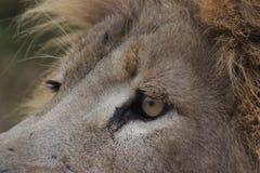 Ciérrese encima del león Fotos de archivo libres de regalías