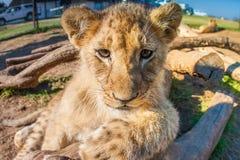 Ciérrese encima del león del bebé del retrato Foto de archivo