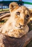 Ciérrese encima del león del bebé del retrato Imagen de archivo
