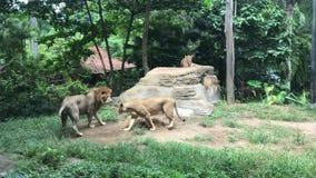 Ciérrese encima del león en el parque zoológico de Singapur asia metrajes