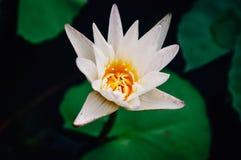 Ciérrese encima del loto blanco y del polen amarillo por la tarde imagenes de archivo