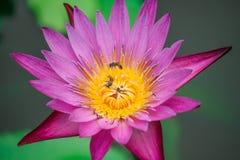 Ciérrese encima del loto, flor del lirio de agua Imagen de archivo