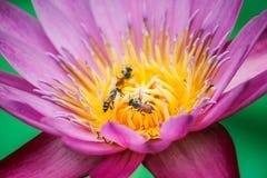 Ciérrese encima del loto, flor del lirio de agua Fotografía de archivo