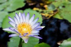 Ciérrese encima del loto, flor del lirio de agua Fotos de archivo libres de regalías