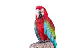 Ciérrese encima del macaw colorido del loro aislado en blanco Fotografía de archivo