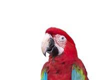 Ciérrese encima del macaw colorido del loro aislado en blanco Fotos de archivo libres de regalías