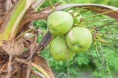 Ciérrese encima del manojo de cocos frescos Foto de archivo libre de regalías