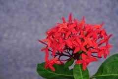 Ciérrese encima del manojo de flores rojas del ixora Foto de archivo libre de regalías