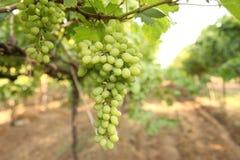 Ciérrese encima del manojo de uvas verdes frescas en la vid con las hojas verdes en viñedo Fotografía de archivo