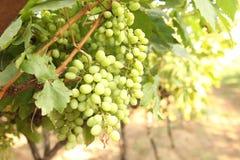 Ciérrese encima del manojo de uvas verdes frescas en la vid con las hojas verdes en viñedo Imagen de archivo