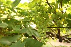 Ciérrese encima del manojo de uvas verdes frescas en la vid con las hojas verdes en viñedo Fotos de archivo