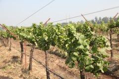 Ciérrese encima del manojo de uvas verdes frescas en la vid con las hojas verdes en viñedo Foto de archivo