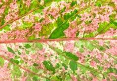 Ciérrese encima del modelo de la hoja del color rosado y verde de la hoja de China Rose Imagen de archivo libre de regalías