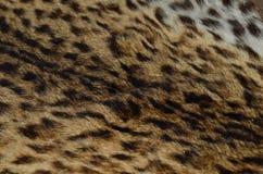 Ciérrese encima del modelo de la piel del leopardo Fotografía de archivo